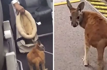 [VIDEO] Adorable Baby Kangaroo Hops On Board American Airlines Flight