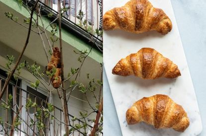 unidentified-beast-terrorising-residents-turns-out-to-be-a-croissant-stuck-on-a-tree