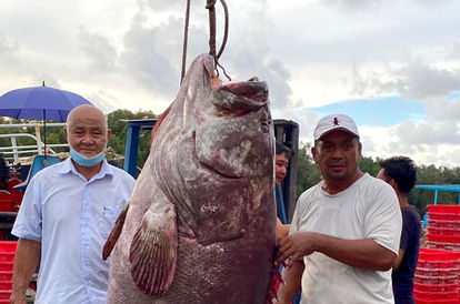 A Big Catch: Sarawak Fisherman Stuns Crowd By Catching A Monster Of A Grouper