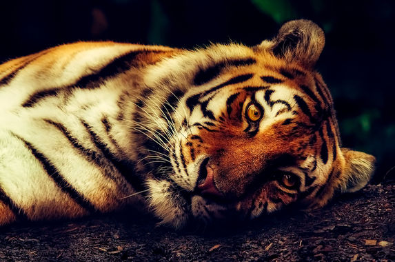 oh-no-there-are-less-than-350-harimau-malaya-left-in-the-wild