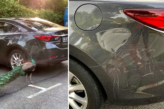 video-territorial-peacock-attacks-car-after-spotting-its-own-reflection-on-it