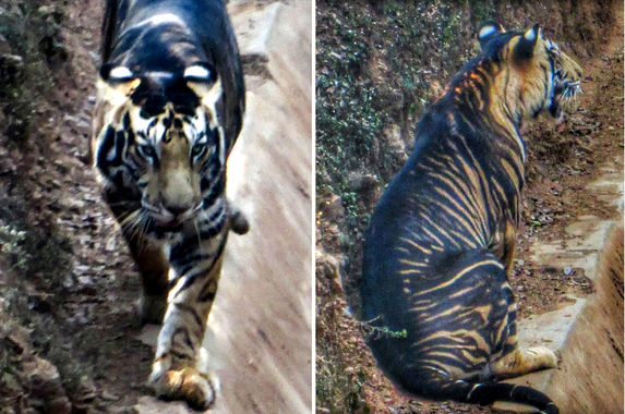 amateur-photographer-captures-photos-of-ultra-rare-black-tiger-in-the-wild
