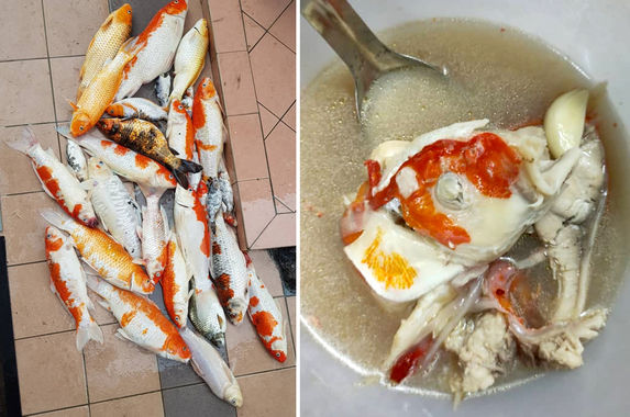 sabah-woman-gives-dead-pet-koi-fishes-a-grand-send-off-into-her-tummy