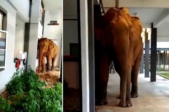 video-elephant-wanders-into-perak-school-maybe-to-sit-for-her-spm-examaminations