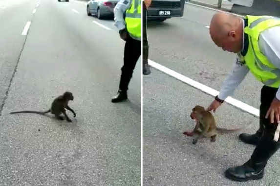 abang-abang-polis-win-praises-on-social-media-for-saving-injured-monkey-on-highway