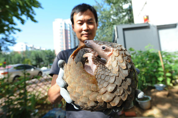 china-finally-removes-pangolin-scales-from-approved-ingredients-in-traditional-medicine-list
