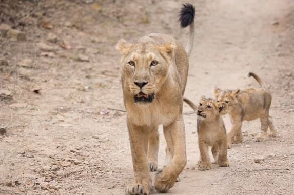 india-s-asiatic-lion-population-records-29-increase-in-last-five-years