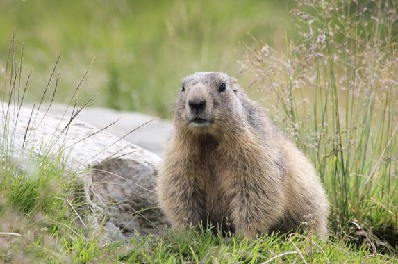 mongolian-man-contracts-bubonic-plague-after-eating-marmot-meat