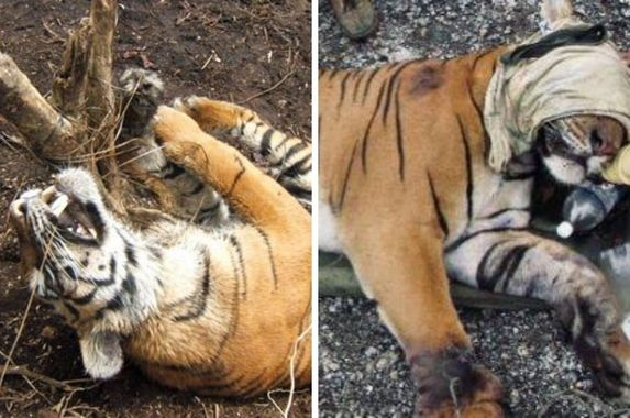 snares-are-killing-malaysia-s-tigers-if-trend-continues-they-could-be-wiped-out-by-2022