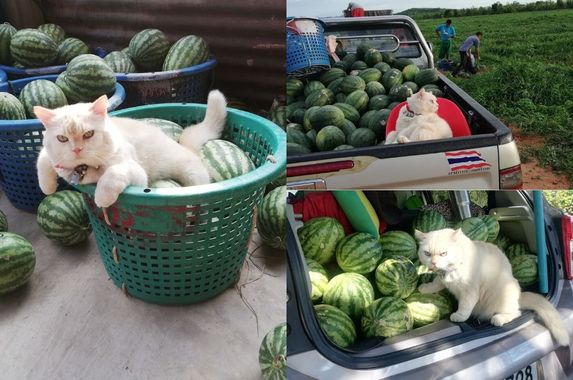 photos-hire-me-this-fluffy-grumpy-cat-works-as-a-watermelon-farm-supervisor