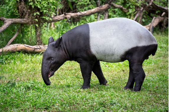 malaysian-tapirs-will-finally-get-their-own-conservation-centre-in-jelebu-soon