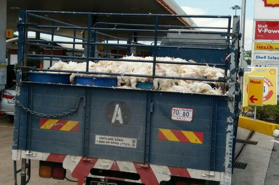 why-was-this-penang-lorry-carrying-dead-chickens
