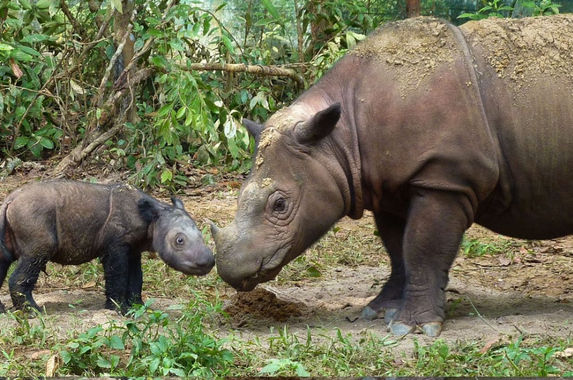 the-sumatran-rhinos-are-officially-extinct