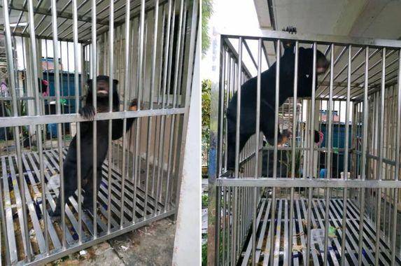 another-sun-bear-found-caged-in-a-home-in-kuching