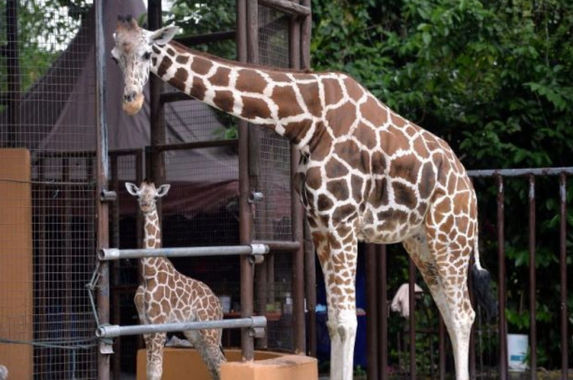 there-s-a-new-baby-giraffe-born-in-zoo-negara