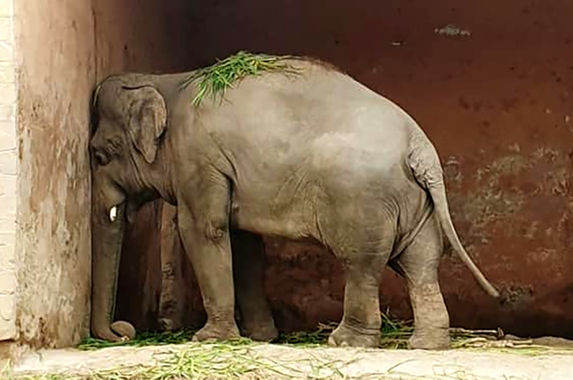 world-s-loneliest-elephant-to-be-relocated-from-the-zoo-he-has-been-living-in-since-1985
