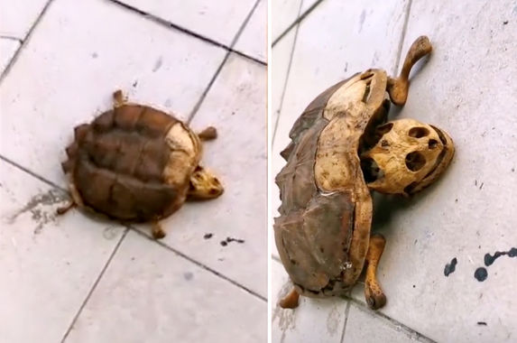 student-leaves-pet-turtle-in-wuhan-dormitory-during-lockdown-returns-to-find-only-bones