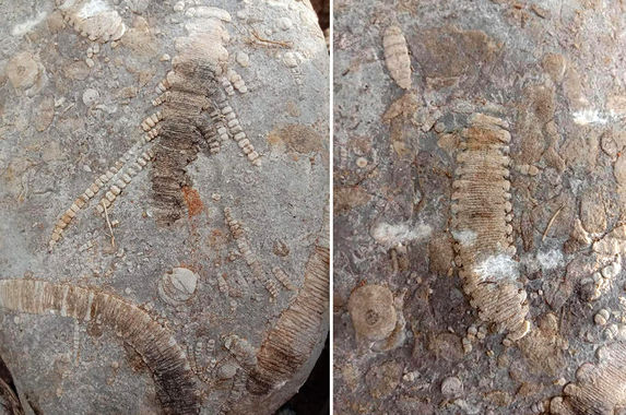 woman-unexpectedly-finds-three-250-million-year-old-fossils-at-family-s-plantation