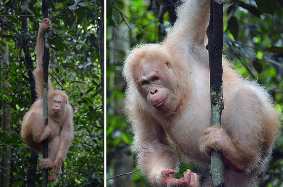 world-s-only-known-albino-orangutan-photographed-alive-and-well-in-borneo-rainforest