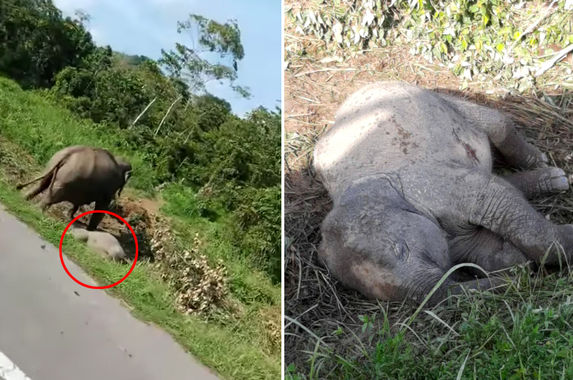 video-heartbroken-mother-elephant-seen-mourning-dead-calf-in-johor