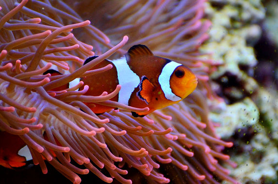 the-clownfish-aka-nemo-could-soon-disappear-from-the-face-of-the-earth-and-here-s-why