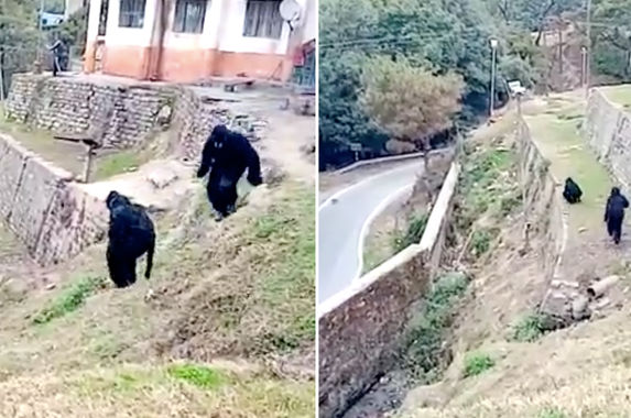 indian-border-police-dresses-up-in-bear-costumes-to-chase-pesky-monkeys-away