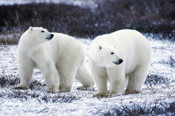 scientists-climate-change-could-starve-polar-bears-into-extinction