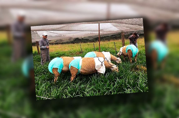 why-are-these-brazilian-sheep-wearing-diapers-there-s-an-explanation-for-that