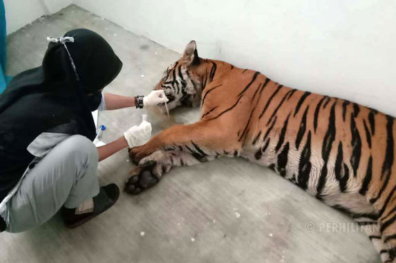 one-of-the-tigers-spotted-roaming-around-in-terengganu-has-died