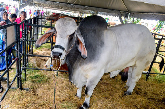 enormous-cow-steals-the-spotlight-at-breeders-event-in-kelantan