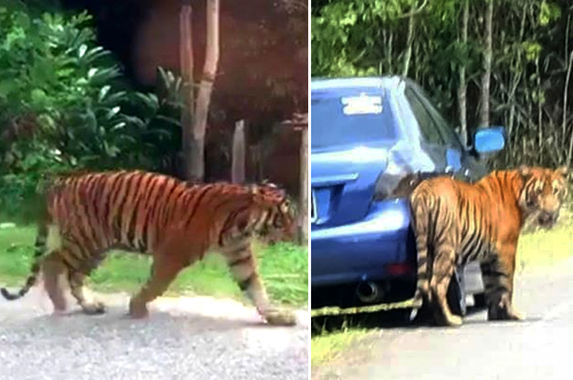perhilitan-warns-malaysians-to-not-take-selfies-with-stray-tigers