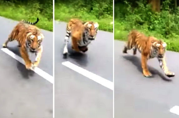 video-shows-tiger-chasing-after-two-men-on-motorcycle-pants-were-definitely-shat