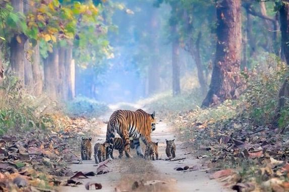 magical-photo-of-tigress-strolling-with-five-cubs-signifies-hope
