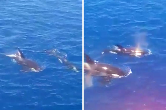 a-pair-of-orca-whales-spotted-in-terengganu-waters-for-the-first-time