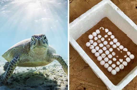 hundreds-of-turtle-eggs-found-on-port-dickson-s-empty-beaches