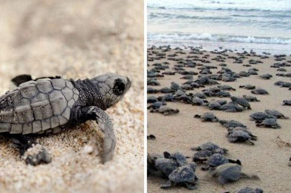 video-thousands-of-baby-turtles-emerge-in-daylight-and-make-their-way-back-to-the-sea-in-india