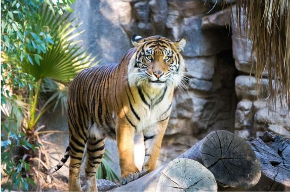 malayan-tiger-in-us-zoo-tests-positive-for-covid-19