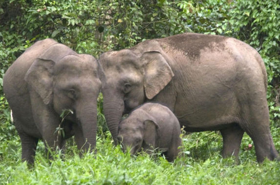 pygmy-elephant-the-latest-to-die-due-to-human-actions