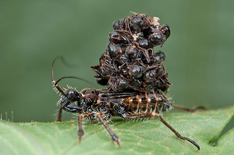 this-assassin-insect-found-in-malaysian-jungles-uses-its-victims-dead-bodies-as-an-armour