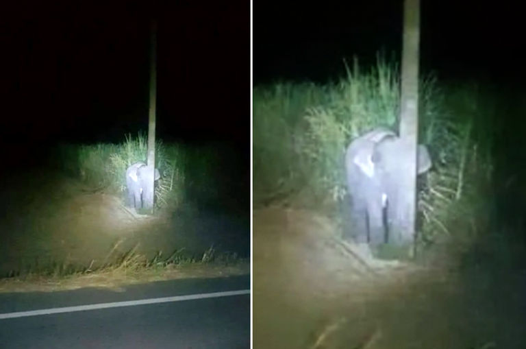 cute-photo-of-baby-elephant-hiding-behind-pole-after-being-caught-eating-sugarcane-goes-viral