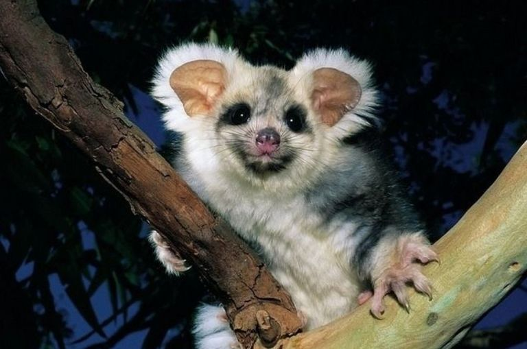 two-new-greater-glider-species-discovered-in-australia