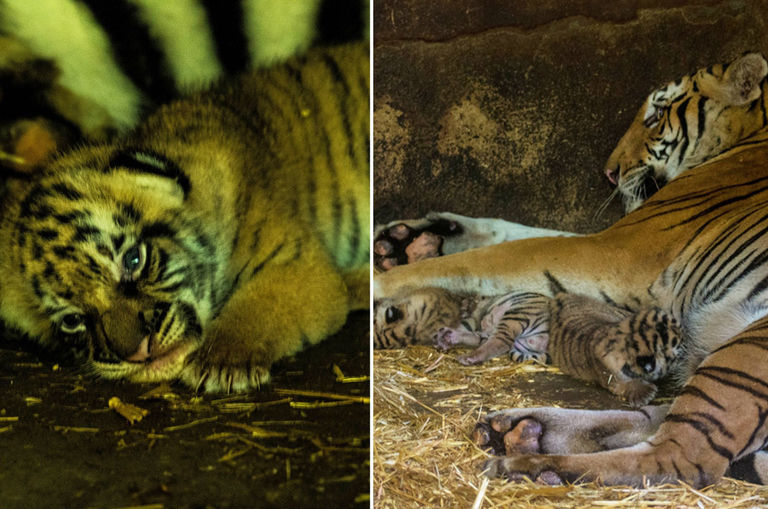 baby-meet-your-babies-malayan-tiger-in-taiping-zoo-gives-birth-to-three-cubs
