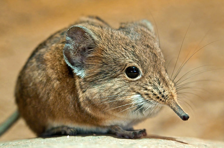 elephant-shrews-rediscovered-in-africa-after-species-thought-to-be-extinct-for-50-years