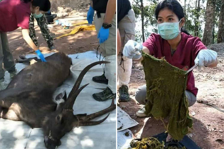 7kg-of-trash-including-underwear-found-in-dead-deer-s-stomach